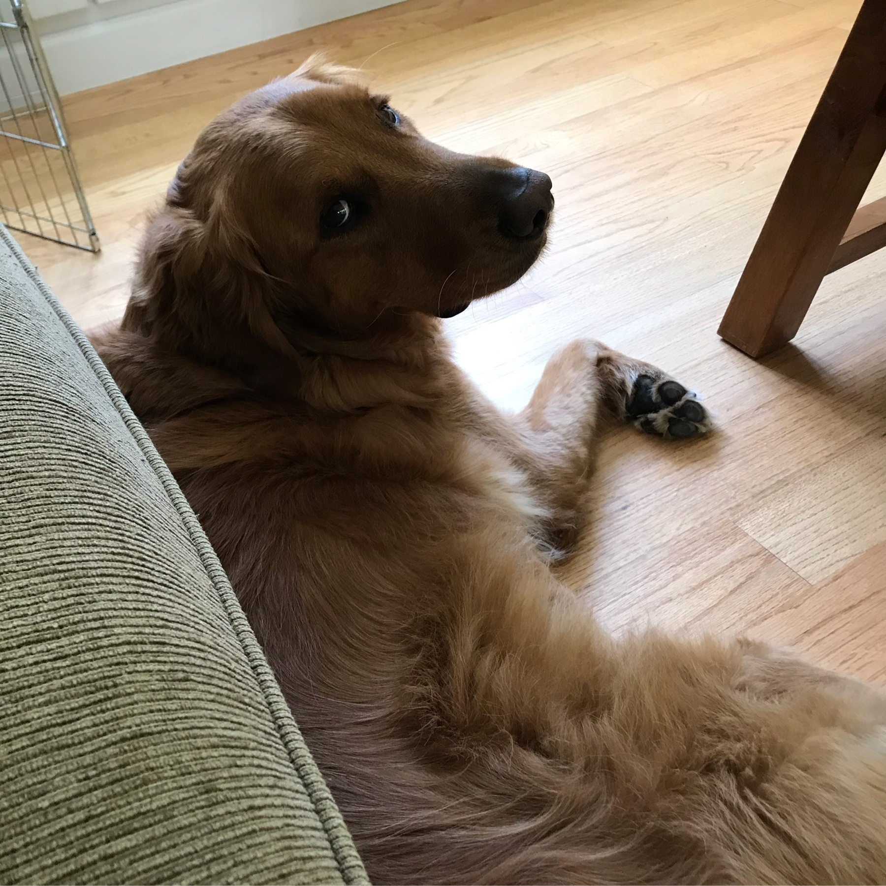 a golden retriever lying in front of a couch